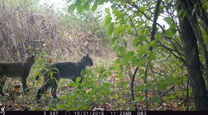 Bobcats at Taylor Fork Ecological Area